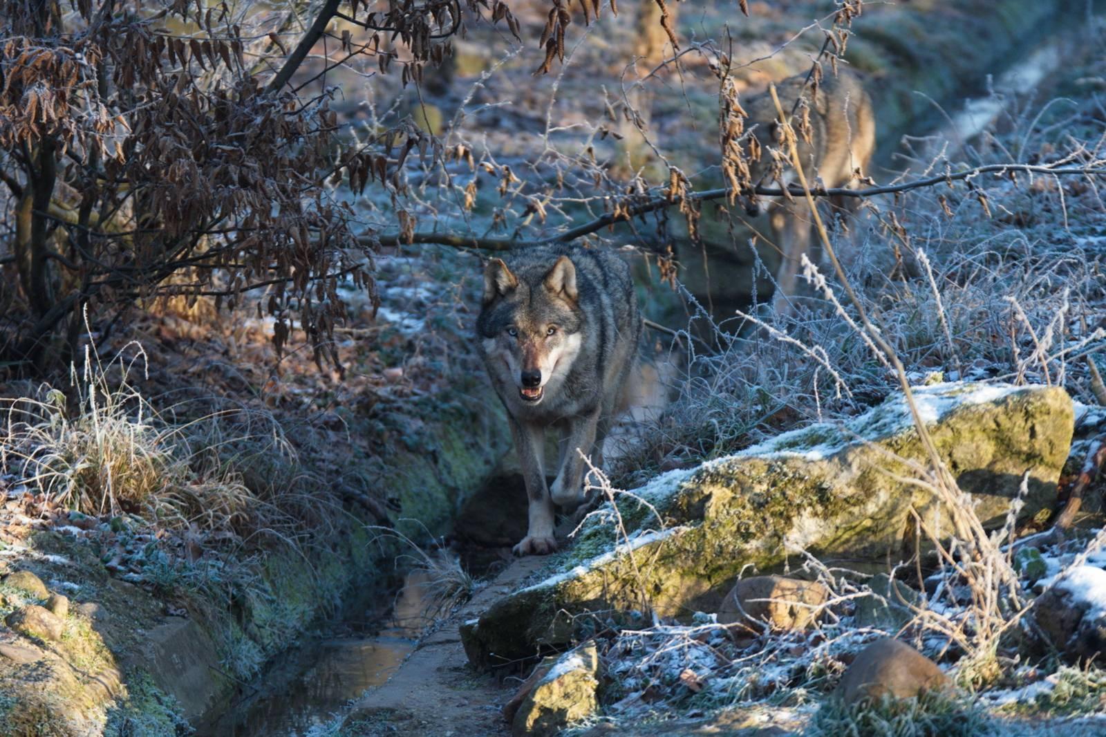 Wölfe beobachten im Wisentgehege Springe