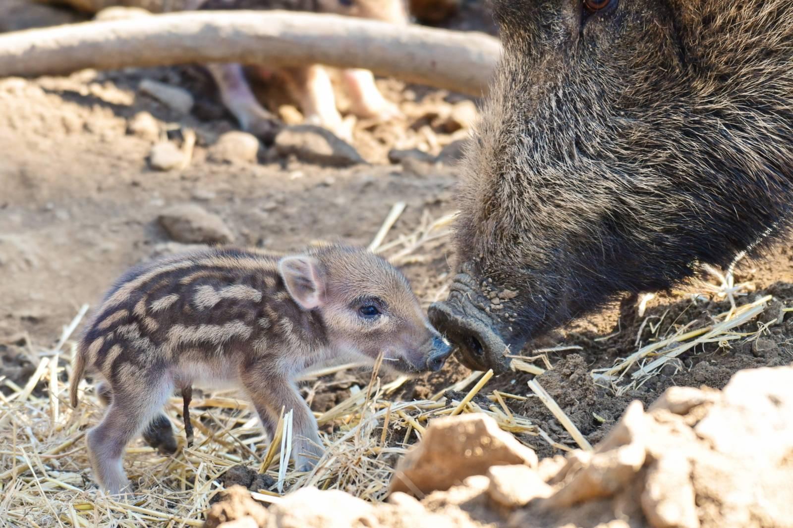 Wildschweinjunge im Wisentgehege Springe