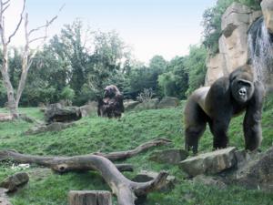 Goril Dağı