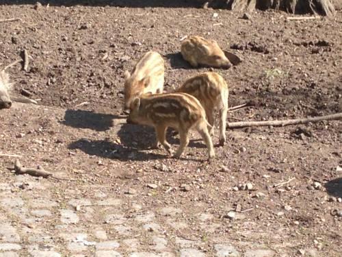 Frisch geborene Wildschweine im Tiergarten.