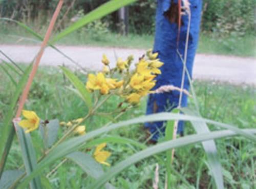 gelbe Blüten im Vordergrund, im Hintergrund ein blau gestrichener Pfahl
