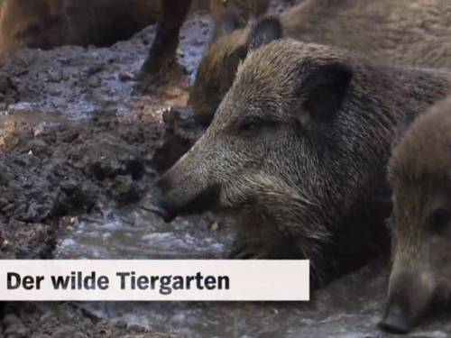 Szene aus einem Video, in dem Wildschweine zu sehen sind.