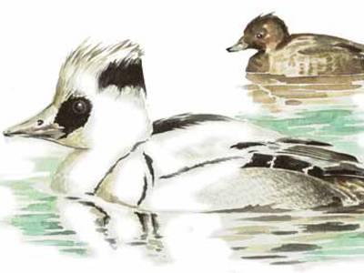 Zeichnung eines schwimmenden Vogels aus der Familie der Enten