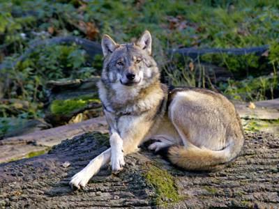 Wolf im Wisentgehege Springe