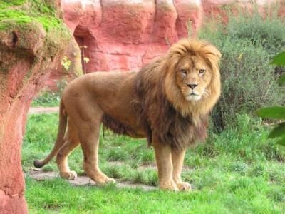 Lwy w interaktywnym zoo w Hanowerze