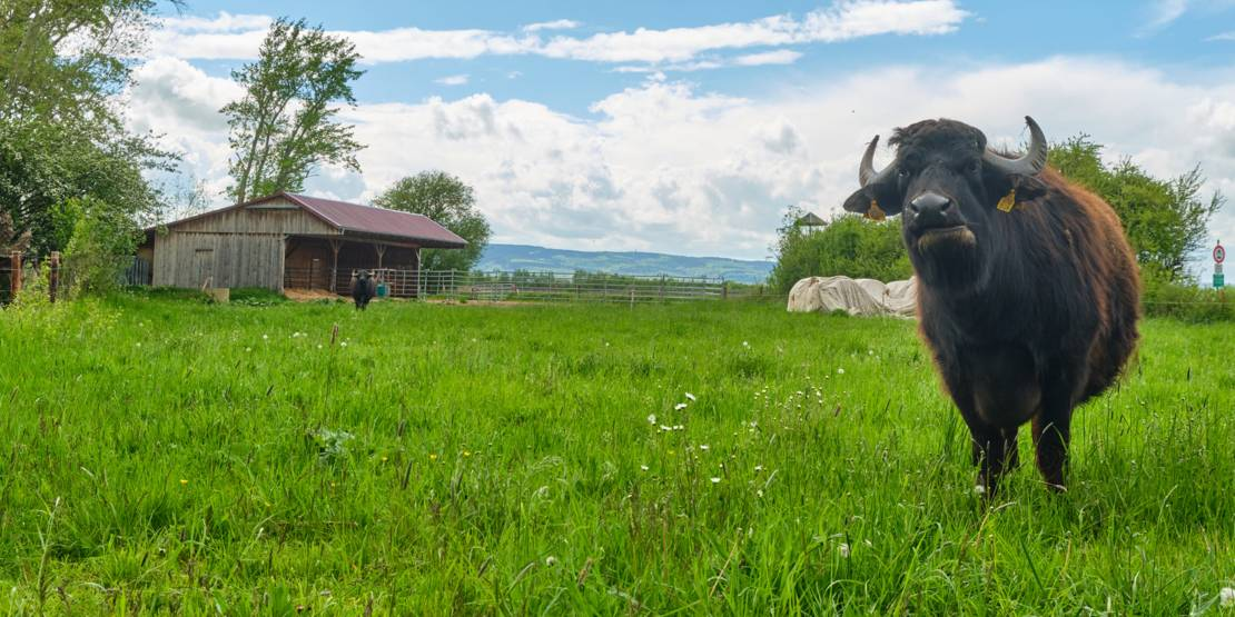 Büffel im Calenberger Land