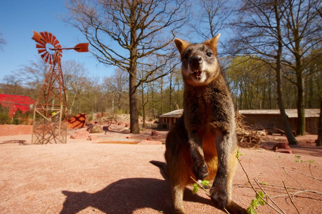 Wallaby Dowununder im Outback