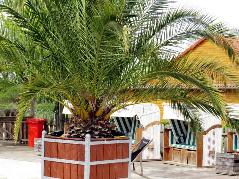 Eine Palme wächst im Kübel, dahinter steht eine Reihe von Strandkörben
