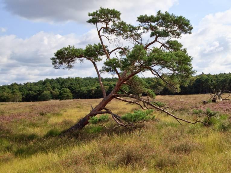 Ein Nadelbaum auf einer großen Gras und Heidelandschaft
