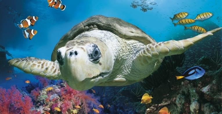Eine Schildkröte schwimmt durch das Meer.