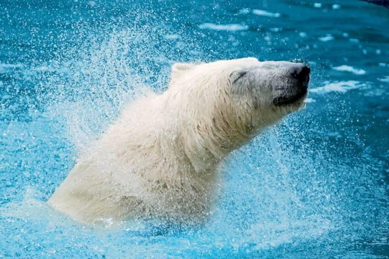 Eisbär im Erlebnis-Zoo
