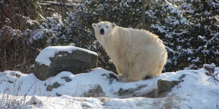 Eisbären im Winter Erlebnis-Zoo