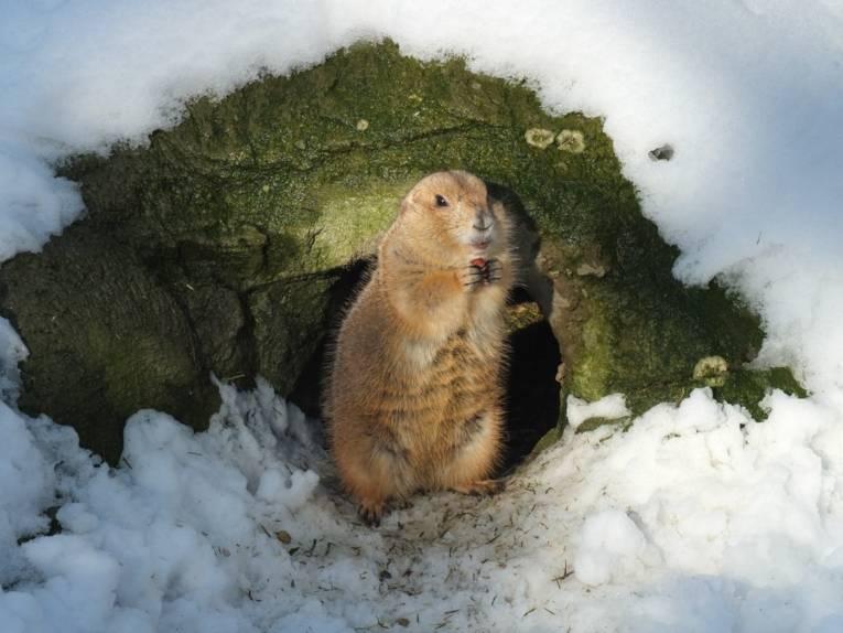 Präriehund im Erlebnis-Zoo