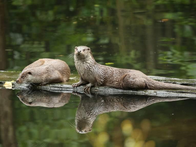 Zwei Otter werden von Gästen aus dem Otterzentrum Hankelsbüttel bestaunt