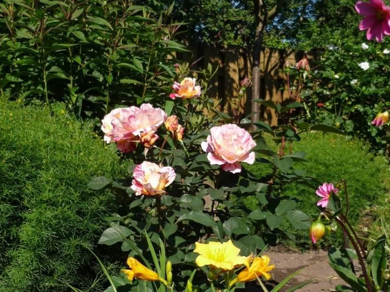 Blumenbeet mit Rose