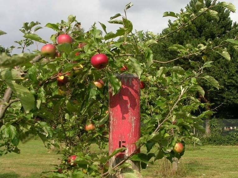 Apfelbaum, der im Freundschaftshain gepflanzt wurde