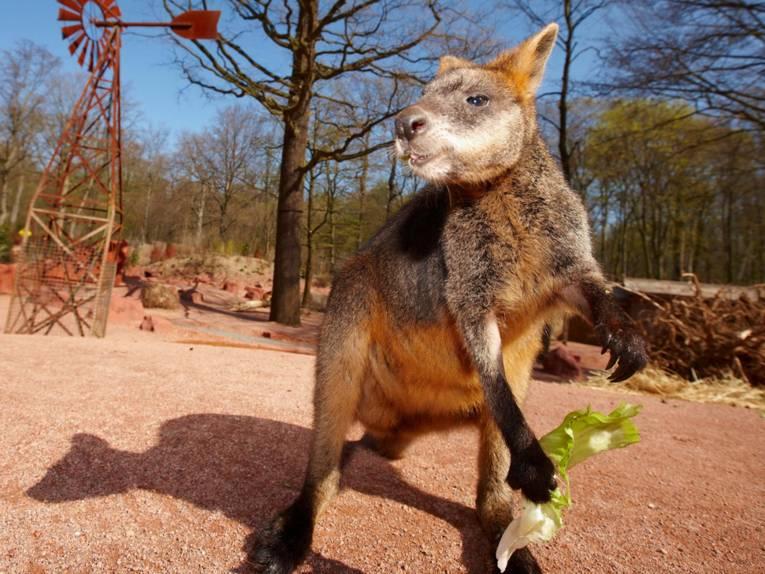Ein Känguru auf rotem Sand.