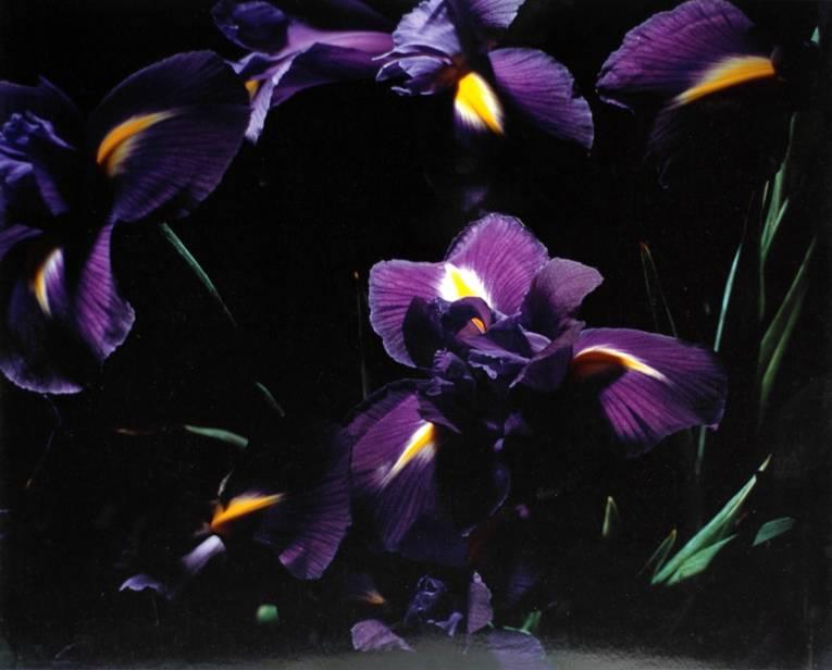 Marie-Jo Lafontaine (+1950 Antwerpen), Le Iris Bleu, 1995, Farbphotographie, 39 x 48,5 cm © VG Bild-Kunst, Bonn 2014