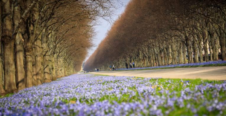 Im Frühjahr bedecken die Scilla-Blüten weite Teile des Georgensgartens.