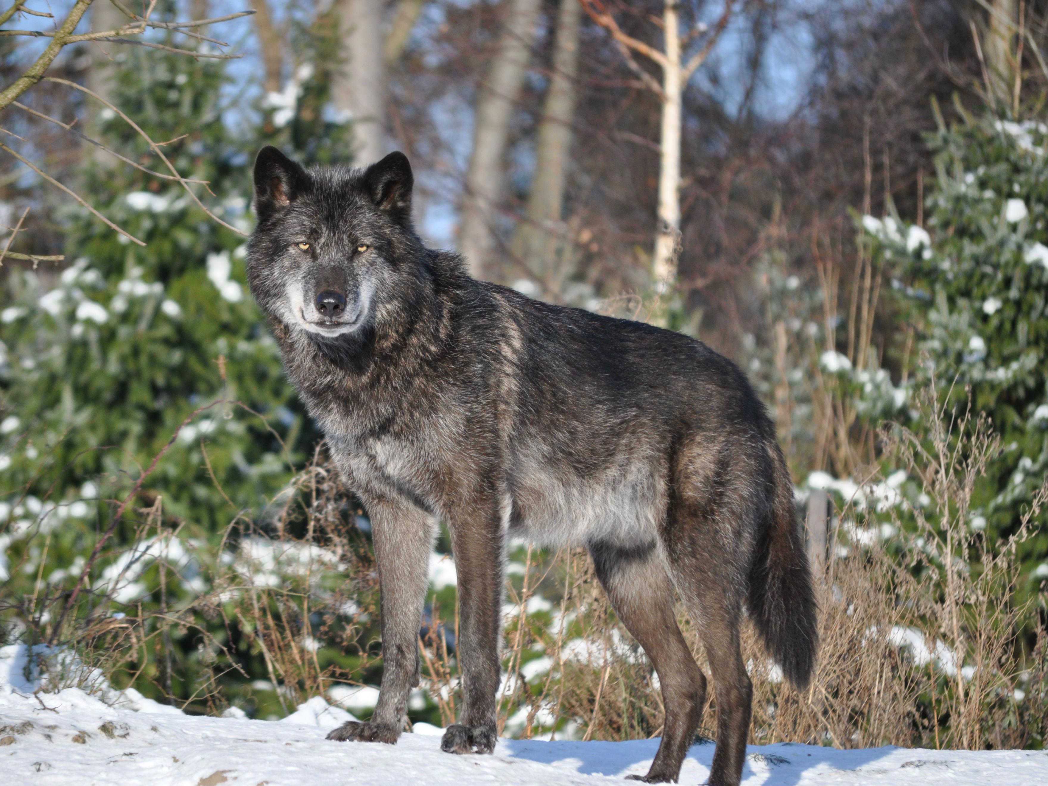 Wolf im Winterzoo