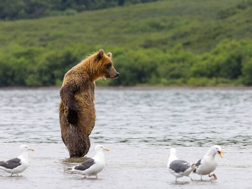Bear standing upright in a body of water